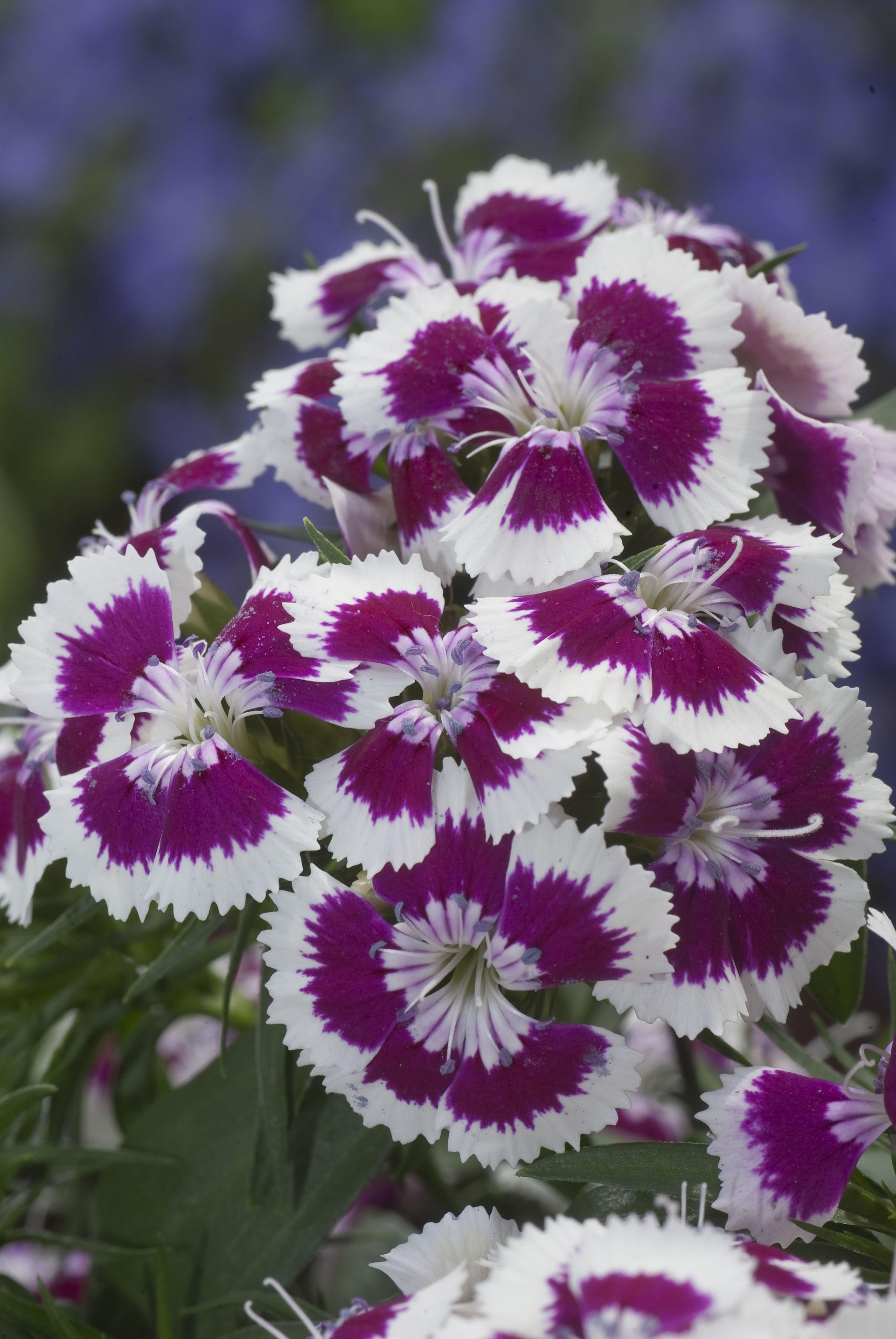 Dianthus x barbatus diabunda purple picotee izmirmasajfo