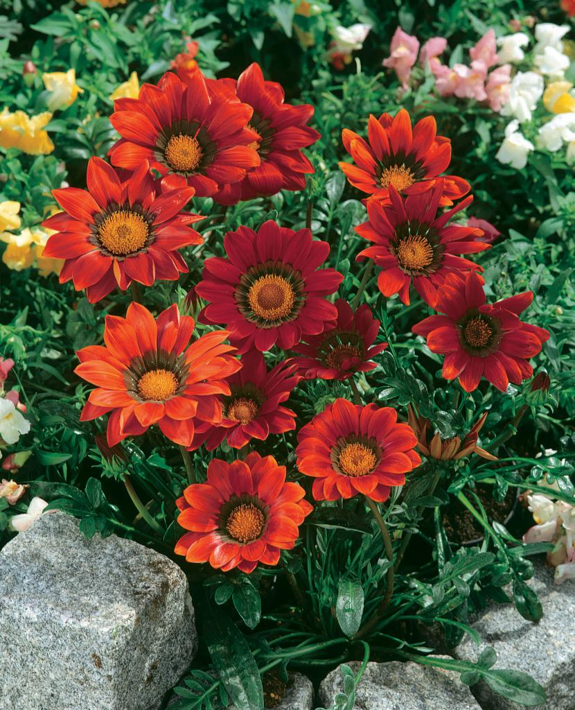 Picture of Live Treasure Flower or African Daisy aka Gazania red Plant Fit 1 Gallon Pot